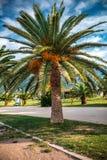 Blommande palmträd på gräsmattan i vändkretsarna Royaltyfri Bild