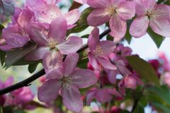 Blommande paradisäppleträd bakgrund blommar pink Arkivfoton