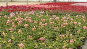 Blommande pelargon i krukor r Pelargonblomn?rbild Blomma pelargon i ett stort modernt stock video