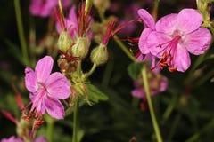 Blommande pelargonnärbild Royaltyfri Bild