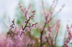 Blommande persikafilialer Arkivbilder