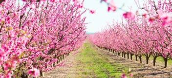 Blommande persikatr?d i v?r arkivbild
