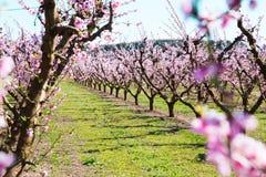 Blommande persikatr?d i v?r royaltyfri foto