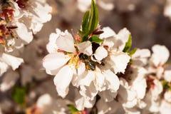 Blommande persikatr?d i v?r arkivfoto