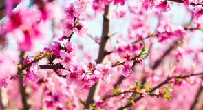 Blommande persikatr?d i v?r arkivfoton