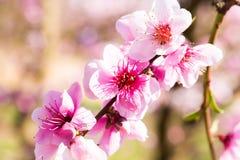 Blommande persikatr?d i v?r royaltyfri bild