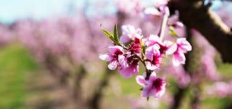 Blommande persikatr?d i v?r royaltyfria bilder