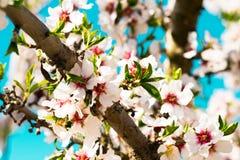 Blommande persikatr?d i v?r arkivbilder