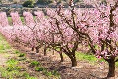 Blommande persikatr?d i v?r fotografering för bildbyråer