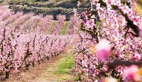 Blommande persikatr?d i v?r royaltyfria foton