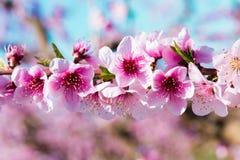 Blommande persikatr?d i v?r royaltyfri fotografi