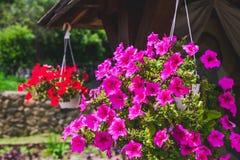 Blommande petunior i hängande blomkruka Royaltyfria Bilder