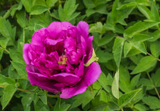 Blommande pion Royaltyfria Bilder