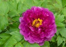 Blommande pion Fotografering för Bildbyråer