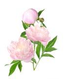 Blommande pionblomma Arkivfoto