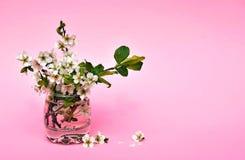 Blommande plommon på en rosa bakgrund Barn samlade en gåva för Royaltyfria Bilder