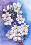 Blommande plommon, vattenfärg Arkivbilder