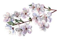 Blommande plommon, vattenfärg Arkivbild