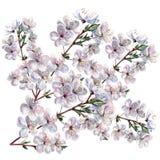 Blommande plommon, vattenfärg Royaltyfri Foto