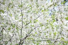 Blommande plumleafkrabbaäpple, kinesisk äpplefilial Dekorativt träd för Malusprunifolia med vita blommor och grönska royaltyfri foto