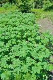 Blommande potatis 1 royaltyfria foton