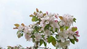 Blommande ?ppletr?d i staden stock video