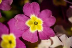 Blommande primula i vår Arkivfoton
