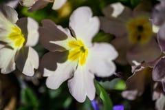 Blommande primula i vår Arkivfoto
