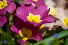 Blommande primula i vår Royaltyfria Bilder