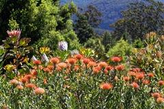 Blommande Proteas i trädgård Arkivfoton