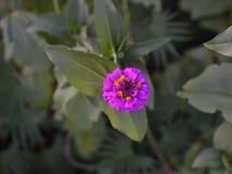 Blommande purpurfärgad blomma för Zinnia (Zinniaelegans) Arkivfoton