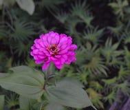 Blommande purpurfärgad blomma för Zinnia (Zinniaelegans) Royaltyfria Foton