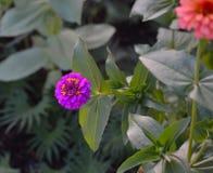 Blommande purpurfärgad blomma för Zinnia (Zinniaelegans) Arkivbilder