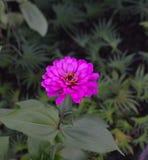 Blommande purpurfärgad blommacloseup för Zinnia (Zinniaelegans) Arkivfoto