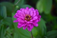 Blommande purpurfärgad blommacloseup för Zinnia (Zinniaelegans) Fotografering för Bildbyråer