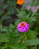 Blommande purpurfärgad blommacloseup för Zinnia (Zinniaelegans) Arkivbilder