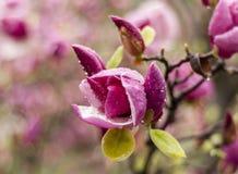 Blommande purpurfärgad magnolia royaltyfri foto