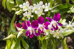 Blommande purpurfärgad orkidé Royaltyfri Fotografi