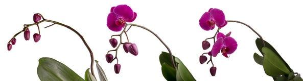 Blommande purpurfärgad orkidé för Phalaenopsis tre med knoppar Fotografering för Bildbyråer