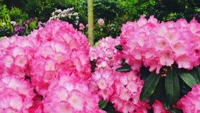 Blommande purpurfärgad rhododendron Kameraflyttningarna drar tillbaka på glidaren Färgkorrigering arkivfilmer