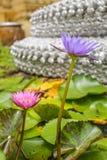Blommande purpurfärgad rosa lotusblomma Arkivfoto
