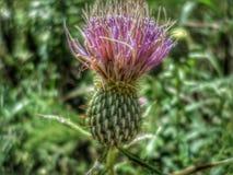 Blommande purpurfärgad tistel med kamerasuddighet fotografering för bildbyråer