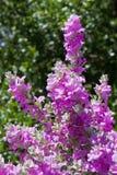 Blommande purpurfärgad vis man Royaltyfri Foto