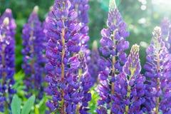 Blommande purpurfärgade lupines med droppar av dagg på en solig sommardag Arkivfoton