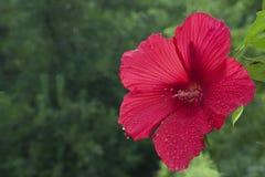 Blommande röd hibiskus efter regnet arkivbilder