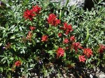 Blommande röd indisk målarpensel Royaltyfri Bild