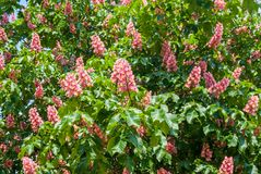 Blommande röd kastanj arkivbilder