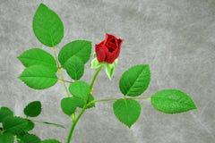 Blommande röd ros, kortkort Arkivfoto