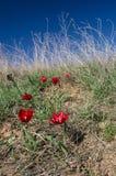 Blommande röd tulpan på en bakgrund av torrt gräs Royaltyfria Bilder