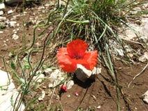 Blommande röd vallmo arkivfoto
